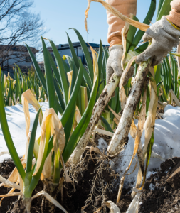 千住葱の収穫